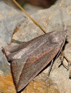 Compsoptera opacaria 06 1