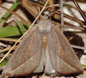 Compsoptera opacaria 06 2