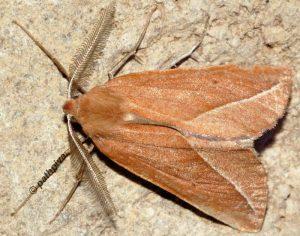 Compsoptera opacaria 06 4