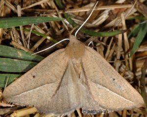 Compsoptera opacaria 11 2