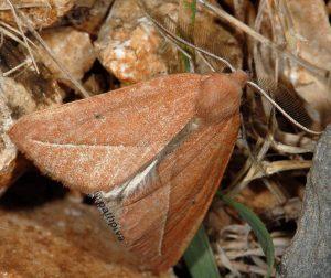 Compsoptera opacaria 11 3