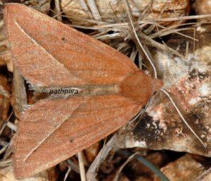 Compsoptera opacaria 11 4