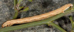 Compsotera opacaria L4 06 1
