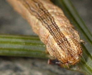Compsotera opacaria L4 06 2
