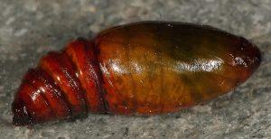 Compsotera opacaria chrysalide 06
