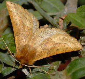 Crocallis tusciaria 06 1