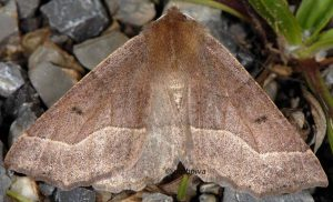Crocallis tusciaria 06 2