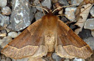 Crocallis tusciaria 06 3