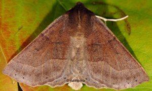 Crocallis tusciaria 06 4