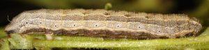 Crocota tinctaria