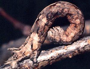 Dyscia conspesaria L5 06 2
