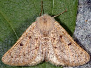 Dyscia lentiscaria 06 1