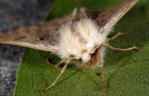 Dyscia lentiscaria 06 2
