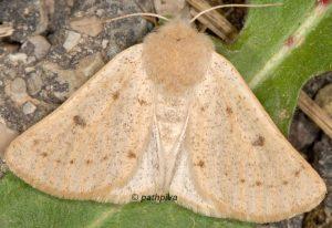 Dyscia lentiscaria 06 3