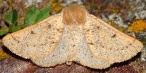 Dyscia lentiscaria 66 1