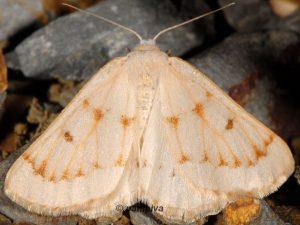 Dyscia penulataria 66 1