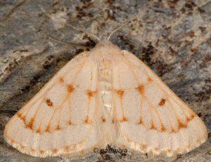 Dyscia penulataria 66 3