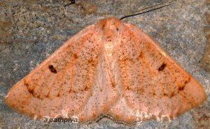 Dyscia penulataria 66 4