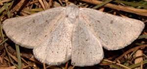 Dyscia royaria 06 3