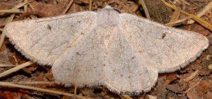 Dyscia royaria 06 4
