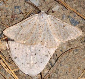 Dyscia royaria 06 5