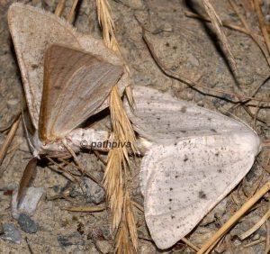 Dyscia royaria 06 6