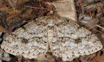 Ectropis crepuscularia 06 2