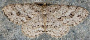 Ectropis crepuscularia 06 3
