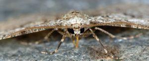 Ectropis crepuscularia 06 4