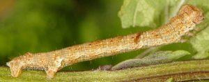 Ectropis crepuscularia L4 06 3