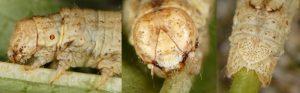 Ectropis crepuscularia L5 06 3
