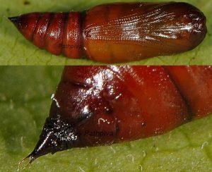 Ectropis crepuscularia chrysalide 06 1