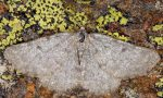 Elophos-caelibaria-05-1
