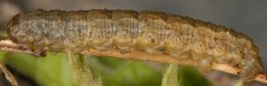 Elophos caelibaria L5 05 1