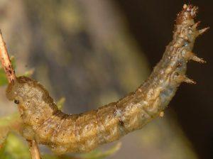 Elophos caelibaria L5 05 4