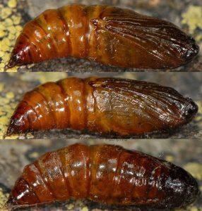 Elophos caelibaria chrysalide 05 1