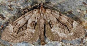 Epilobophora sabinata 06 1