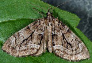 Epilobophora sabinata 06 2