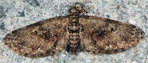 Eupithecia abbreviata 06 1