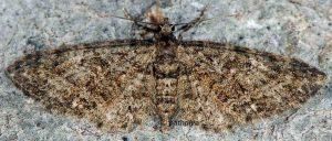 Eupithecia abbreviata 06 2