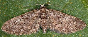 Eupithecia abbreviata 06 3