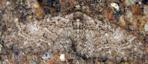 Eupithecia abbreviata 06 4