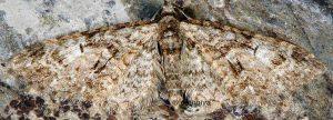 Eupithecia abbreviata 83 1