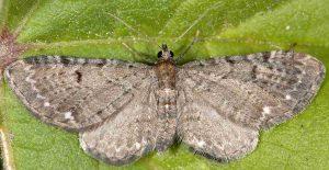 Eupithecia actaeata 06 1