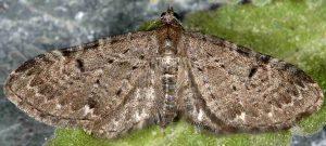 Eupithecia actaeata 06 2