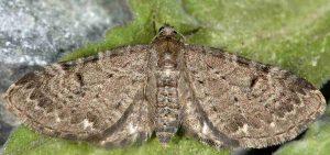 Eupithecia actaeata 06 3