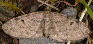 Eupithecia actaeata 06 4