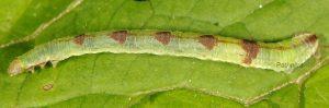 Eupithecia actaeata L5 1