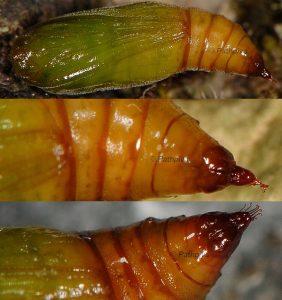 Eupithecia actaeata c 1
