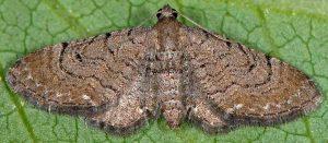 Eupithecia alliaria 06 1